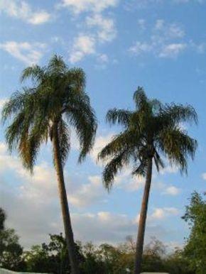 tampa_florida_palm_trees